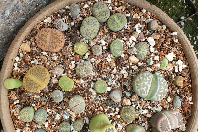 Group of Mixed Lithops succulent plants in a ceramic pot