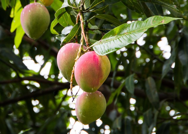 Ripening mangoes hanging from the tree.
