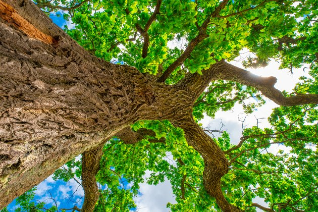 Oak tree. Summer background