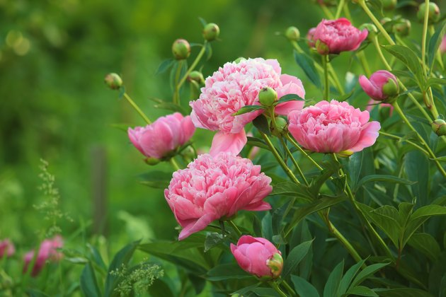 Close-up of pink peonies in open field