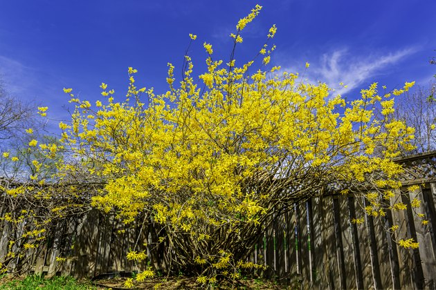 Forsythia, a flower of Spring