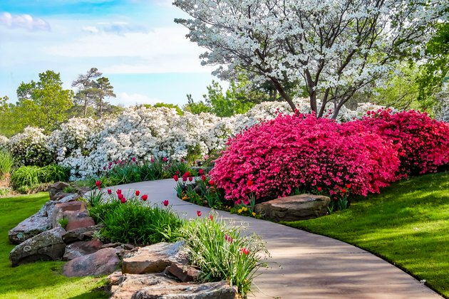 Curved path through banks of Azeleas and under dogwood trees with tulips under a blue sky - Beauty in nature