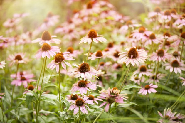 Summer flowering pink coneflowers - Echinacea purpurea in the soft summer sunlight