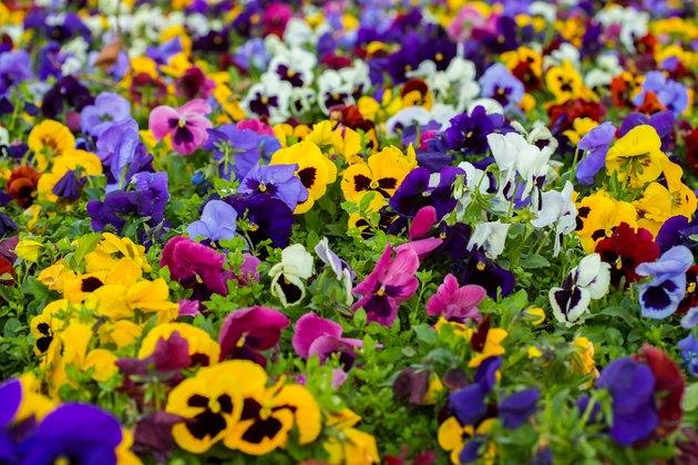 Full Frame Shot Of Purple Flowering Plants