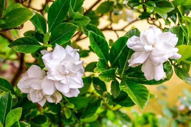 Close-up of white gardenias