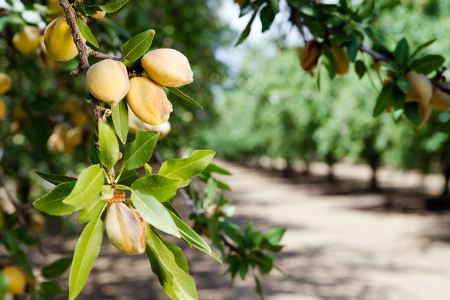 Almond nuts growing on a tree at a farm in California