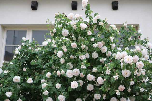 White roses in a garden in Visby, Sweden