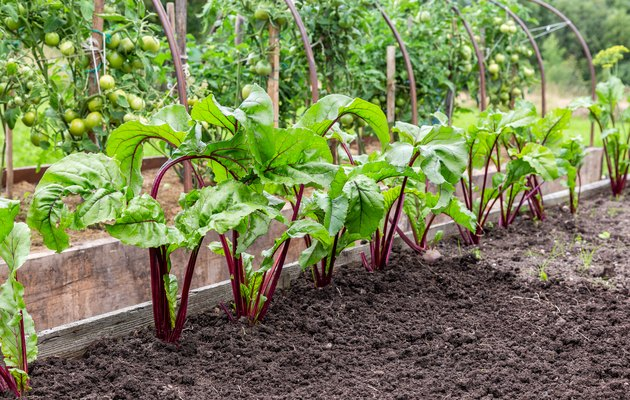 Beetroot grows at the vegetable garden