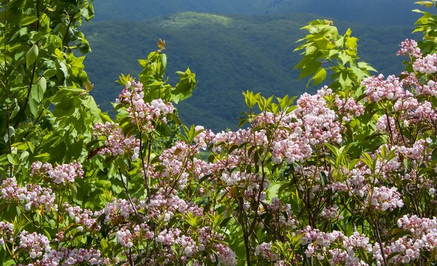 Blooming Pink Mountain Laurel