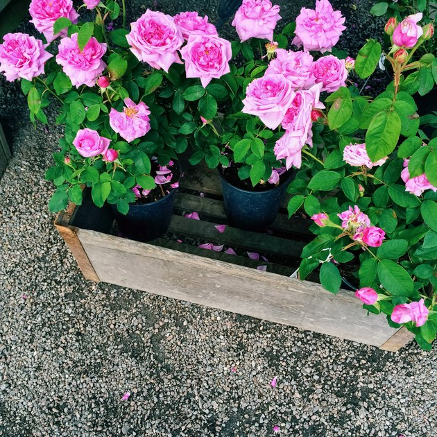 Pots with beautiful pink roses
