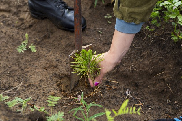 The forester grows a tree. Farmers are planting trees.