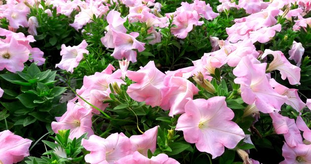 Colorful and bright blooming Petunia flowers (Petunia hybrida)