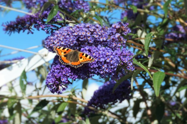 Close-Up Of Butterfly On Buddleia At Park
