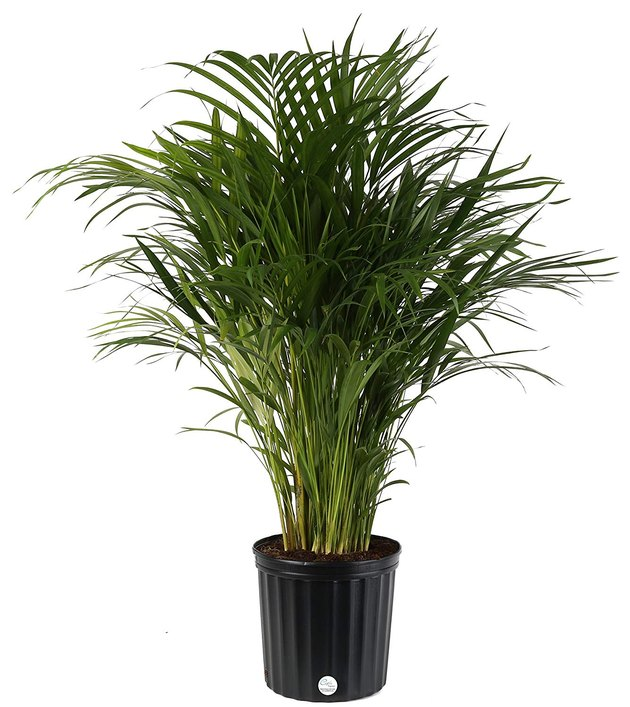 Houseplant palms are perfect for adding a bold, tropical touch to your home. There's a variety of beautiful palm trees that thrive as houseplants in bright rooms. It's easy to decorate with these plants: Use palms to break up a section of blank wall, to fill an empty corner, to soften the edges of windows or furniture, or act as a living sculpture at the end of a side table.