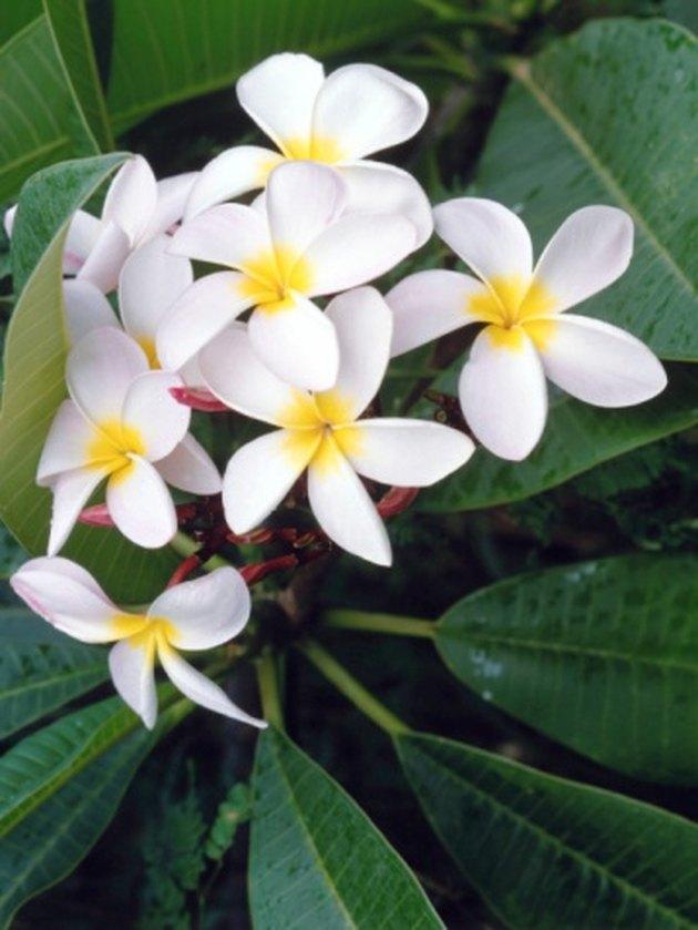 How to Take Care of Hawaiian Lei Plants