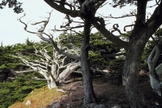 Types of Trees with Twisted Trunks