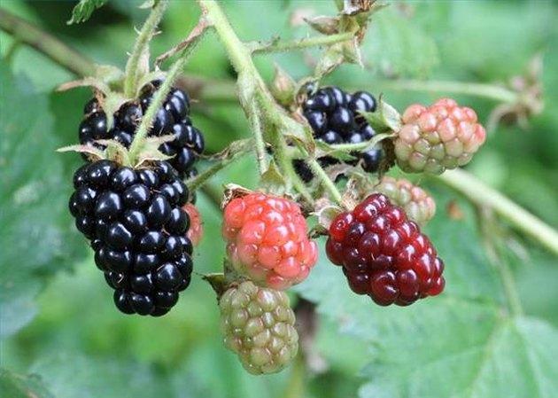 How to Ripen Blackberries