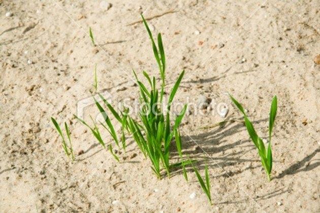 what grass grows best in sand hunker. Black Bedroom Furniture Sets. Home Design Ideas