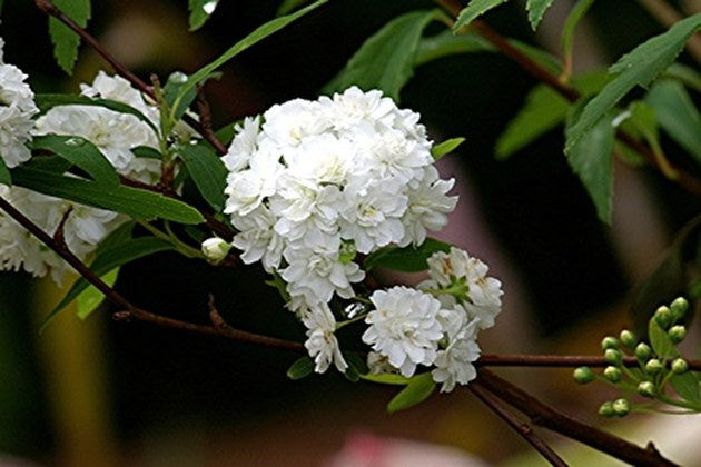 Snowball Bush Varieties Hunker