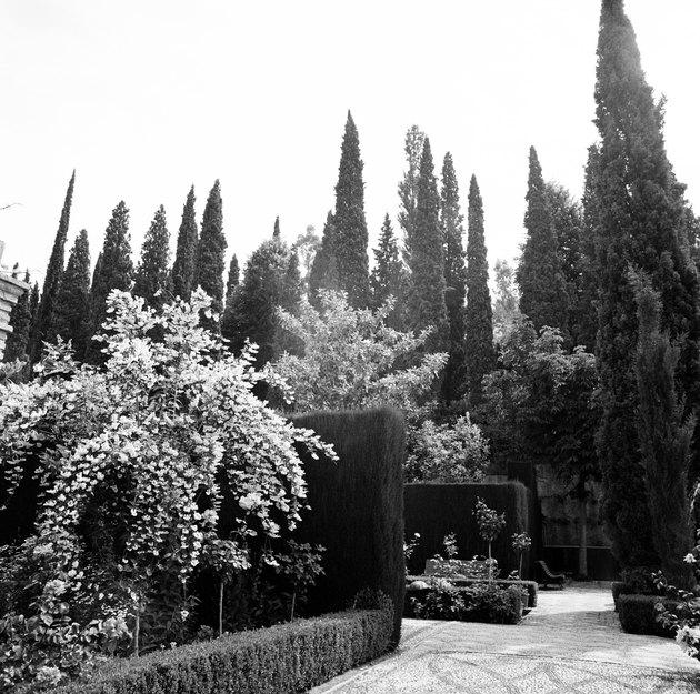 Proper Spacing Between Italian Cypress Trees
