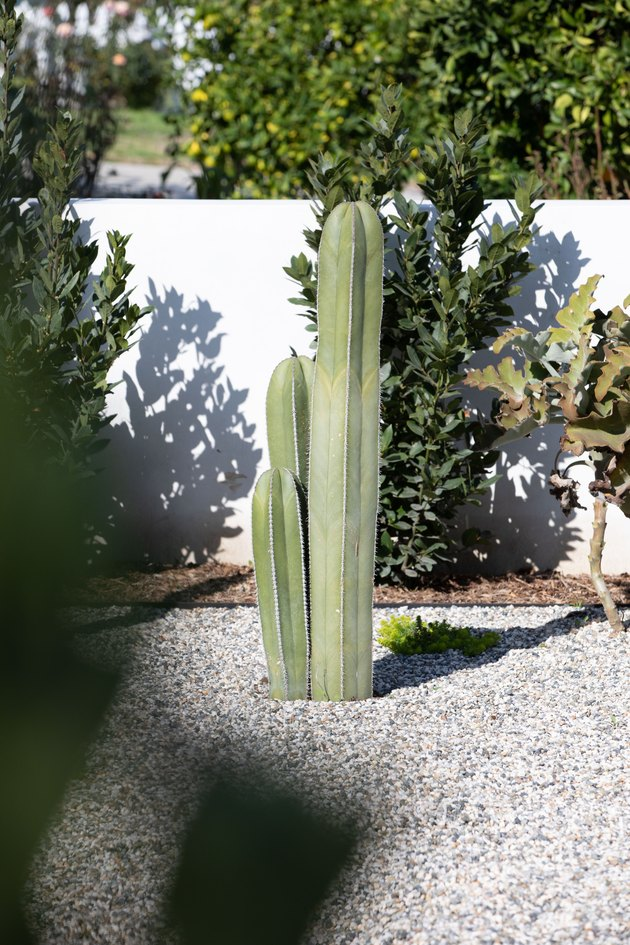 Large cacti on gravel with a white garden wall