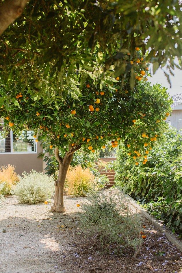 Orange tree in backyard