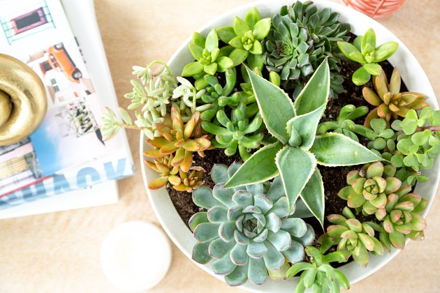 aerial view of several succulents of various sizes growing in a white planter