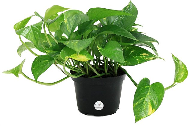 Pothos plants are ideal for beginners because they're super low maintenance, requiring very little care to thrive. Plus, they don't need much light, so if your home is on the darker side, you can still watch this beauty grow.