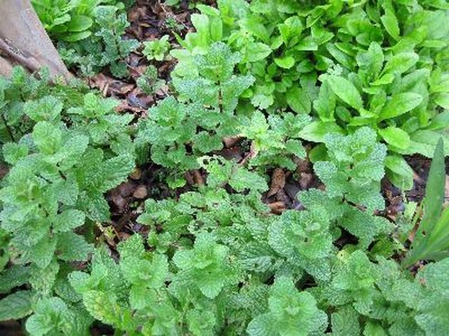 What Can You Use Mint Leaves for?