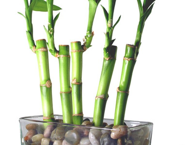 How Often Do I Use Green Green Lucky Bamboo Plant Food?