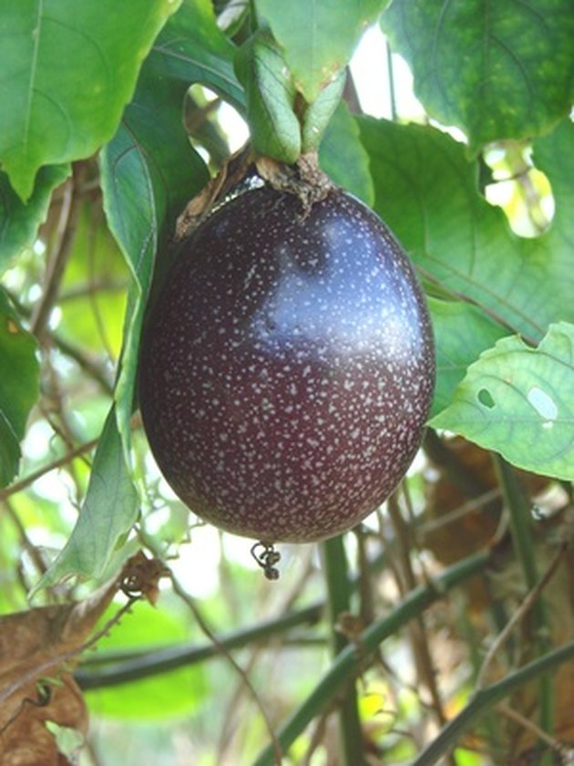 How to Plant Passion Fruit