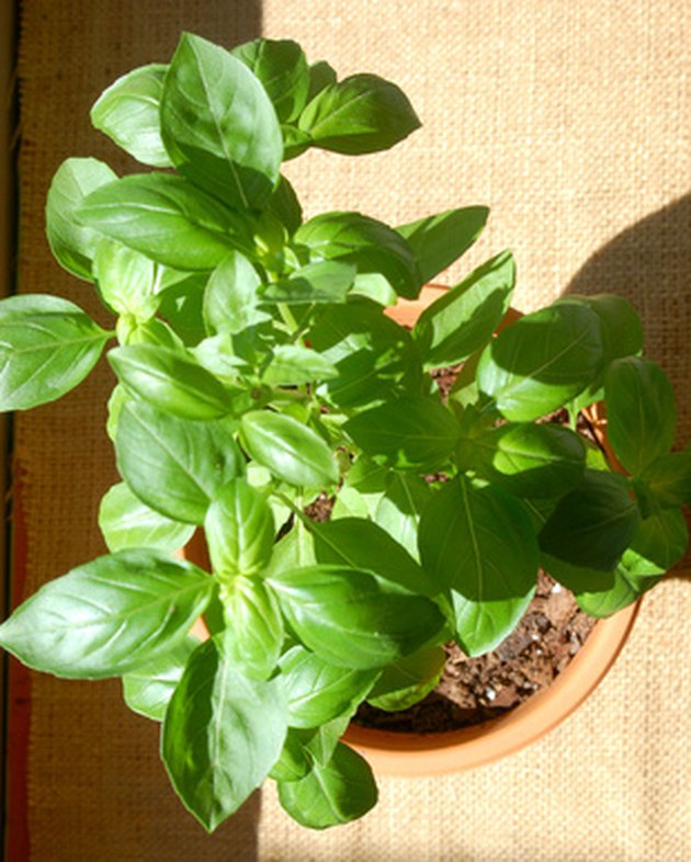 Potted basil plant in sunlight.