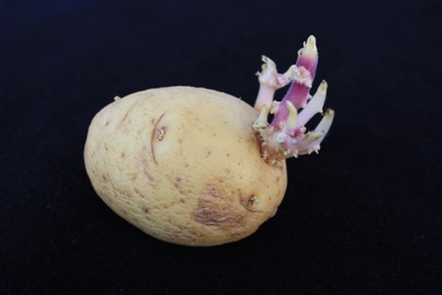 How to Plant Sprouted Potato Seeds