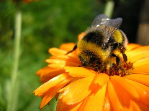 How to Keep Bumble Bees Away