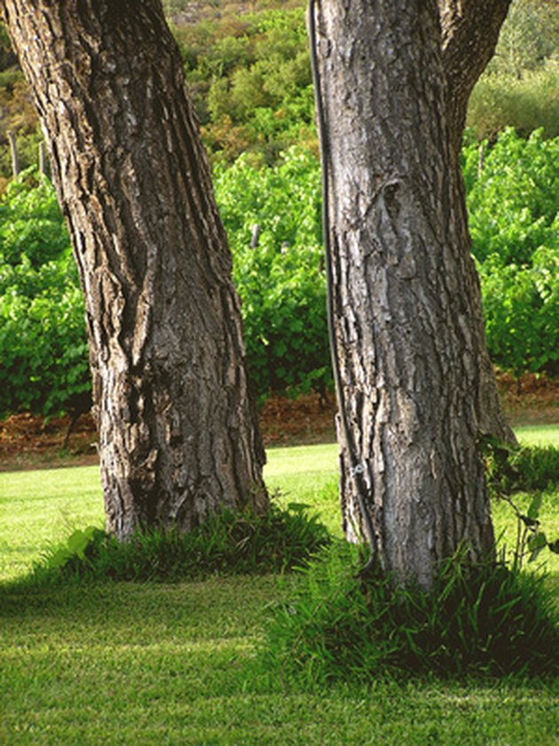 How to Plant Grass Under Pine Trees