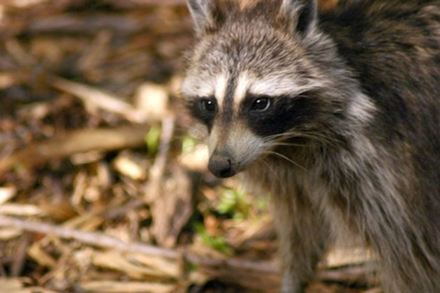 How To Build An Electric Fence For Racoons Hunker