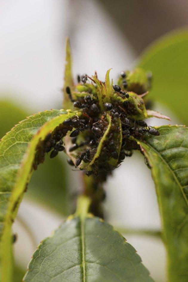 Ants Amp Strawberry Plants Hunker