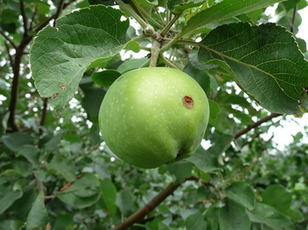 how to grow fruit trees from cuttings