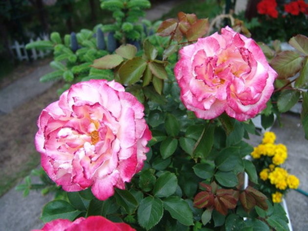 The Effects of Sugar Water on Roses