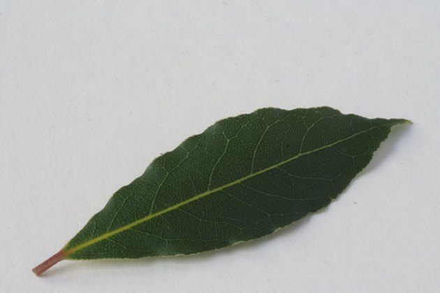 Can Bay Leaves Kill You?