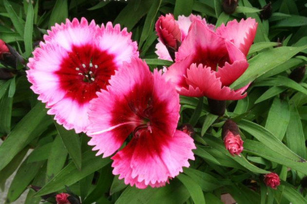 How to Deadhead Dianthus Flowers