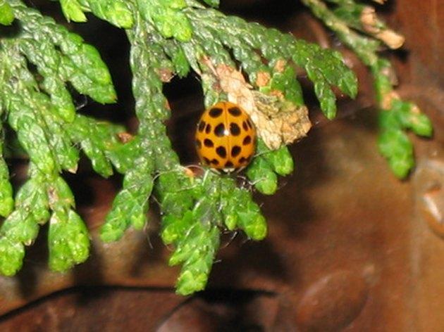 Redwood Vs Cedar >> How to Identify a Cedar Vs. a Redwood   Hunker