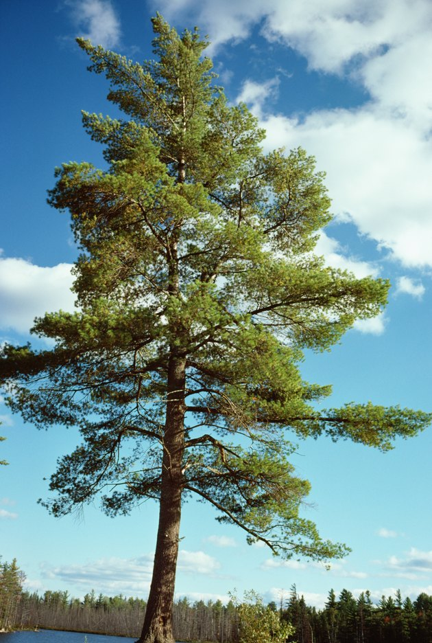 Pine tree, Canada