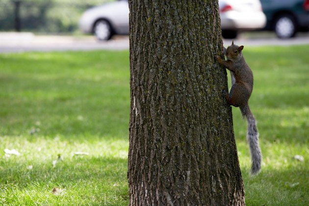 Gray squirrel climbing tree in park