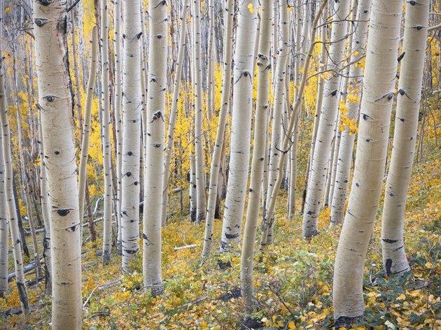 Aspen Hillside in Fall Color