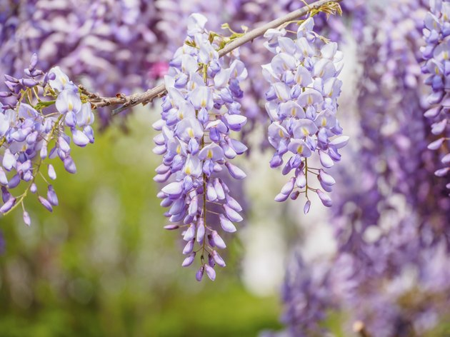 Spring flowers series, purple Wisteria