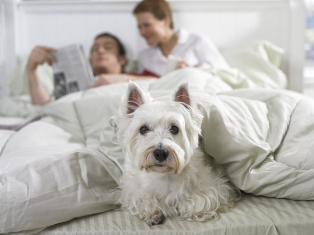 Scottish Terrier Lies at the End of a Bed Under the Duvet, a Couple in the Background