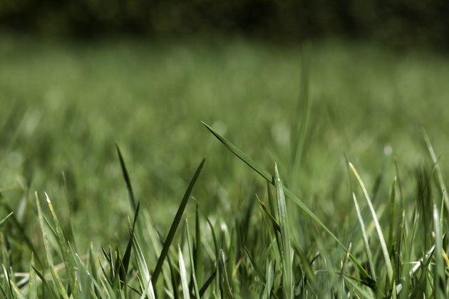 Garden Lawn - Through the blades