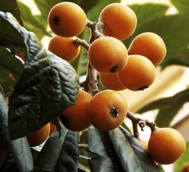 Loquat tree with fruit ready to be eaten.