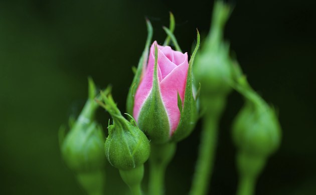Young Pink Rose flower in garden